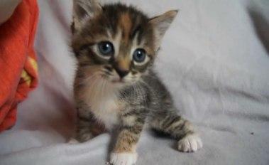 gattino-miagola