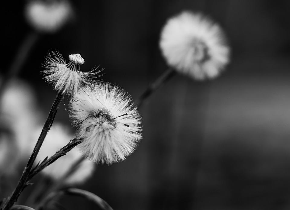 dandelion-2196934_960_720
