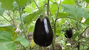 eggplant-1610434__340