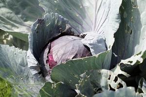 red-cabbage-413561__340.jpg