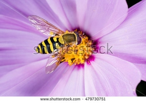 stock-photo-hoverfly-flower-fly-syrphid-fly-eupeodes-luniger-collects-nectar-from-the-pink-flower-mimicry-479730751