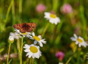 butterfly-3418535__340