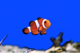 clown-fish-image-of-clown-fish-in-aquarium-water-stock-photos_csp16954435