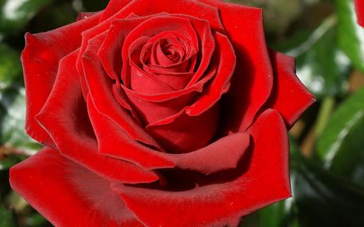 La mia rosa seitu