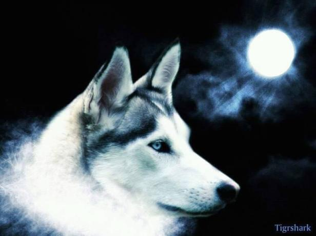 Sarò lupo