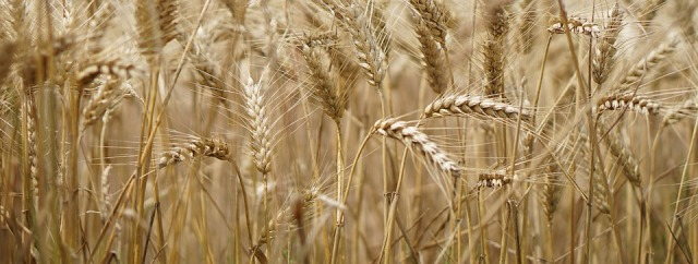 wheat-field-2554358_960_720.jpg