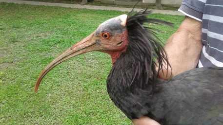 Animali: recuperato Ibis a Racconigi