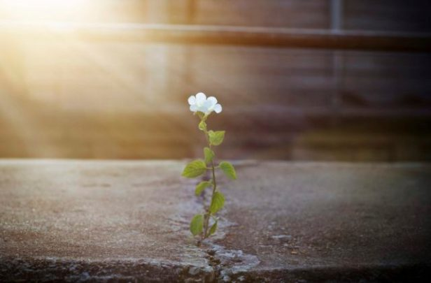 white flower growing on crack street in sunbeam, soft focus