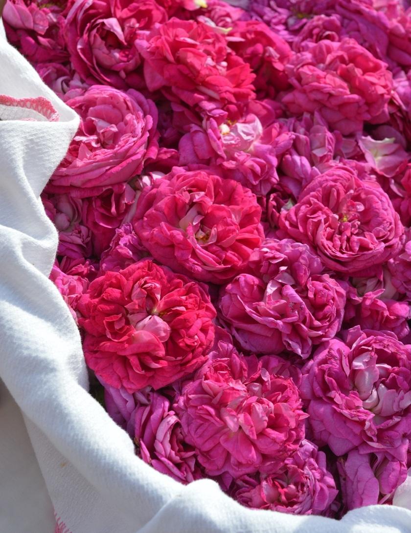 sab rose 2