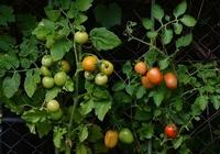 tomatoes-1583145__340