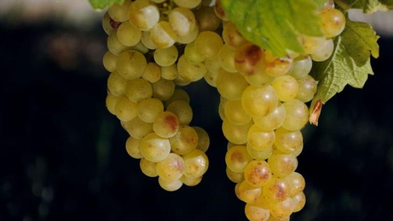 Grappoli di Moscato, Moscato d'Asti, Moscato Bianco caratteristiche
