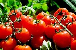 tomatoes-1280859__340.jpg