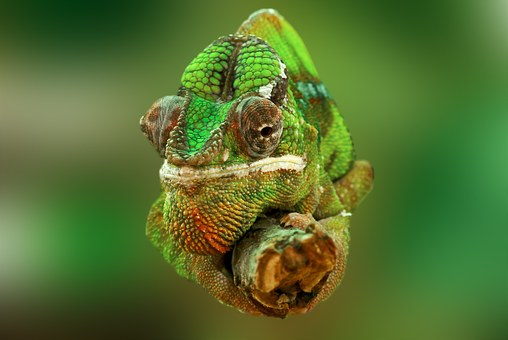 chameleon-540655__340