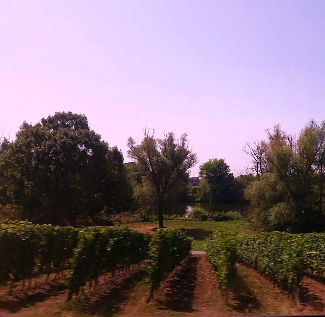 filari uva