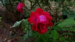 regnvat-rose-2645573__340