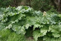 rhubarb-644248__340