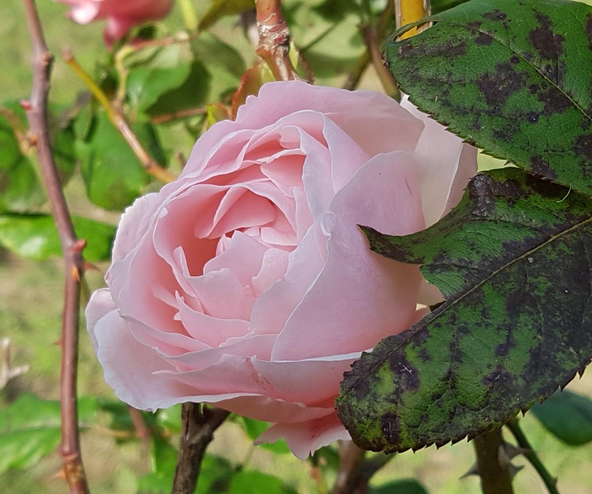 Rosa d'inverno