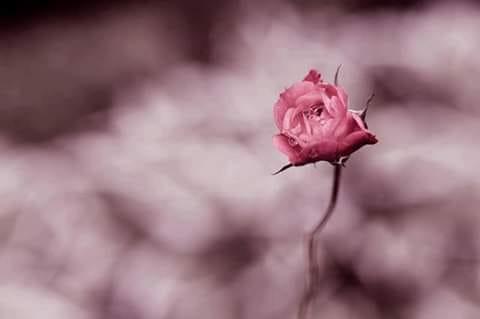 talento di rose
