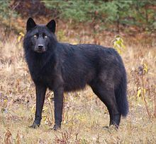 Black_Canis_lupus