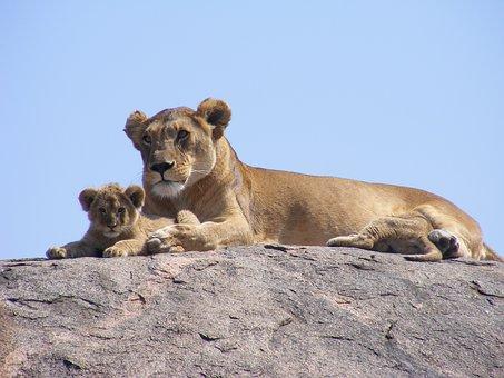 lion-1686104__340