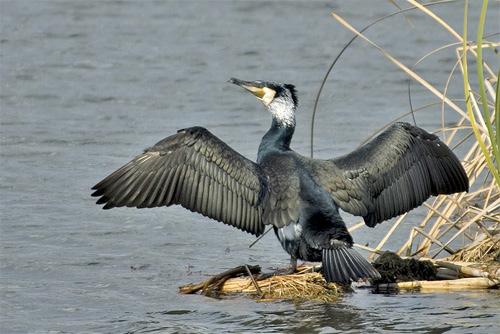 cormorano4
