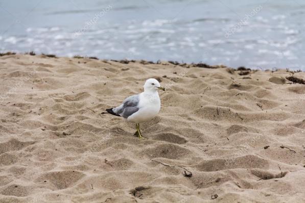depositphotos_22413299-stock-photo-a-gull-on-the-sand.jpg