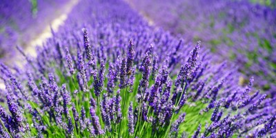 https://alessandriatoday.files.wordpress.com/2019/07/lavanda1.jpg