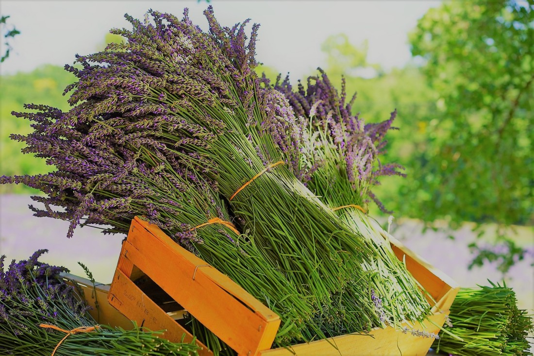 https://alessandriatoday.files.wordpress.com/2019/07/lavenda2.jpg
