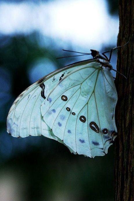 farfalla 78