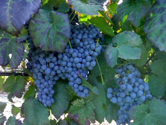 tralcio uva765