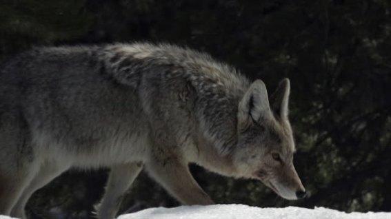 coyote5