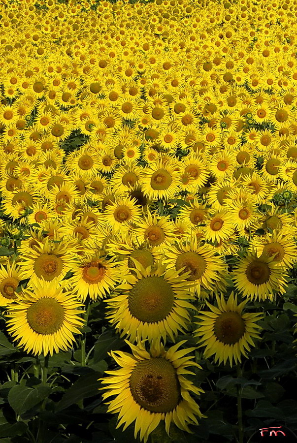 Girasoli Torriana 14-07-2013